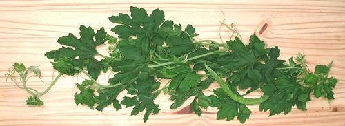 Bitter Melon Leaf 32