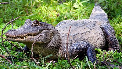 Asian Alligator 28