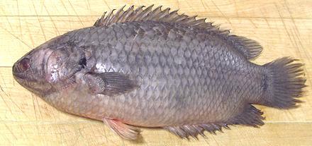 herring marathi meaning