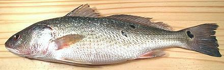 Croaker fish fillet - photo#14