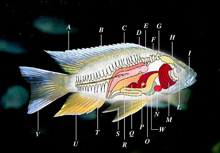 fish ovaries diagram fish labeling diagram