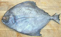 Gobiidae 39 s fish family variety of fish for Pompano fish good to eat