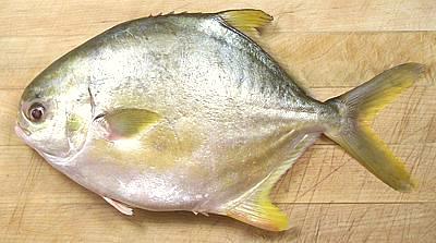 Pompano golden florida for Florida pompano fish