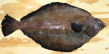 Dover sole slime fish for Dover sole fish