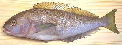 Tilefish Family - photo#5